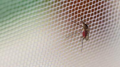 febre amarela mosquito tela